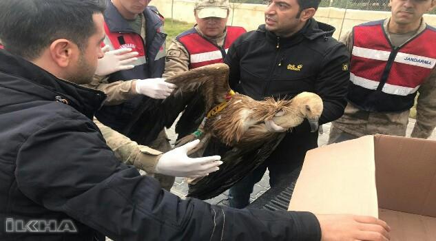 Şanlıurfa'da nesli tükenen kızıl akbaba bulundu