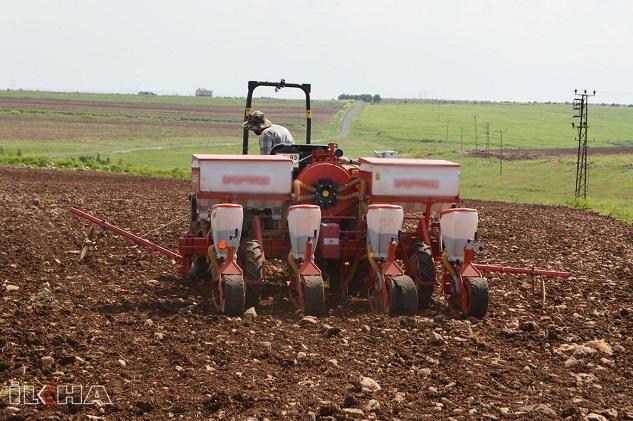 Pamuk ekimine başlayan çiftçiler dertli
