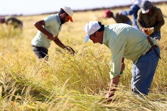 Karacadağ pirincinde hasat zamanı