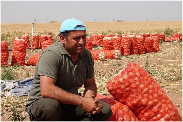 Şanlıurfalı çiftçilerin ektiği soğan tarlada kaldı