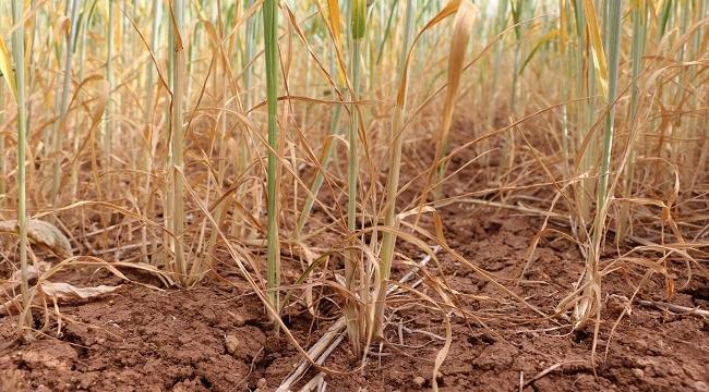 Kuraklıktan dolayı ekinler kurumaya başladı