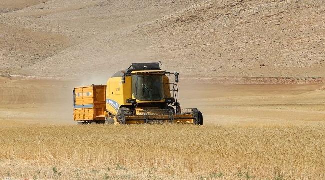 Mercimek ve buğday hasadı kuraklığın gölgesinde yapılıyor