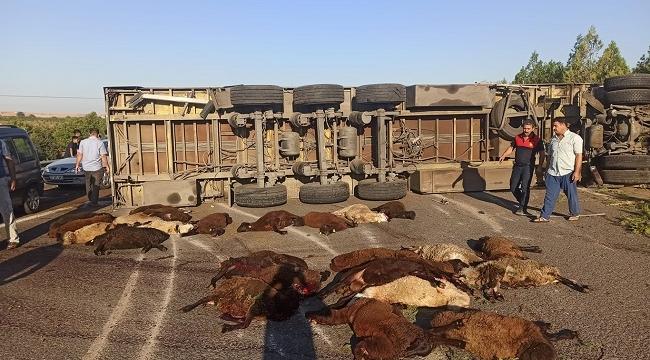Şanlıurfa' da Kurban yüklü tır devrildi: 42 küçükbaş hayvan telef oldu